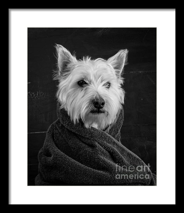 framed portrait of a westie dog