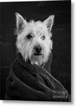 Portrait of a Westie Metal Print
