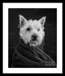Portrait of a Westie framed print.