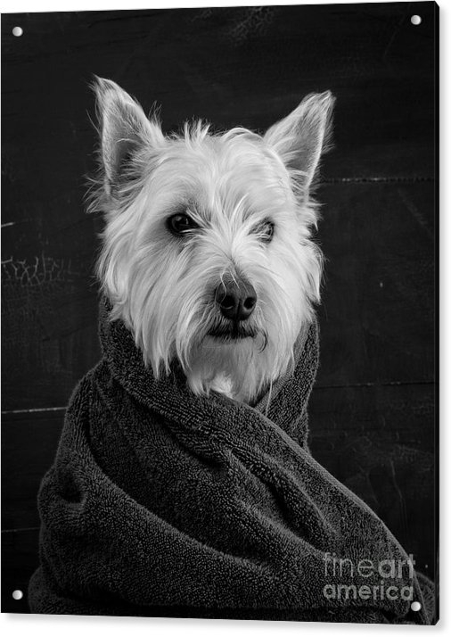 "Recently Sold Acrylic Print of ""Portrait of a Westie"""