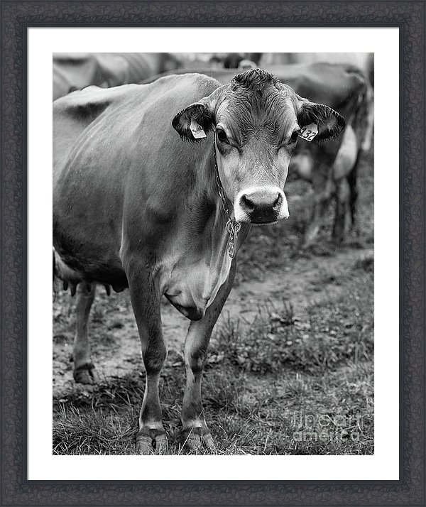Dairy Cow Stowe Vermont