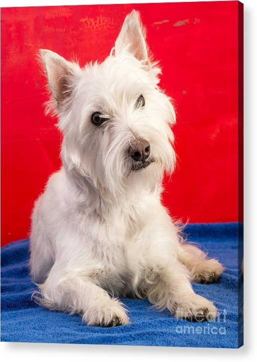 "a 11.250"" x 14.000"" print of Red White And Blue Westie to a buyer from Greenwich, CT."