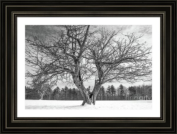 Centuries Old Apple Tree In Winter