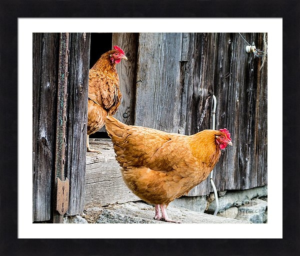 Chickens at the Barn fine art photography